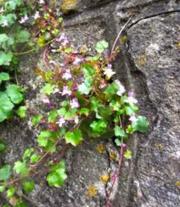 I saw these beautiful flowers, so delicate growing out of a wall in Glastonbury - they reminded me of YOU!