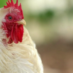 Poodle Roo is a rooster with great wisdom and compassion - he even made it onto Oprah's network!