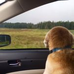 Driving Miss Dixie - she loves to look at the scenery as we go!