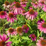 Look at these beautiful echinacea flowers.  I love to see them in the garden!  Their beauty is healing.